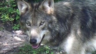 The Wisconsin DNR imposed limits on wolf hunting.
