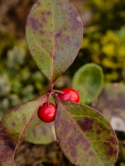 Teaberry is small plant that produces bright red berries.