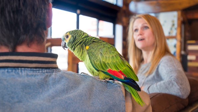 Dino, the parrot, hangs out on Jimmie Toms' shoulder as Kierstyn Hussin chats with him at Mido's Coffee shop in Pensacola on Thursday, March 15, 2018.  Toms found the stray parrot a couple of weeks ago and reunited Dino with his owner Kierstyn Hussin after tracking her down.