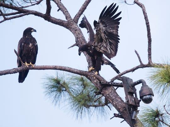 E10 and E11, of Southwest Florida Eagle Cam fame, have