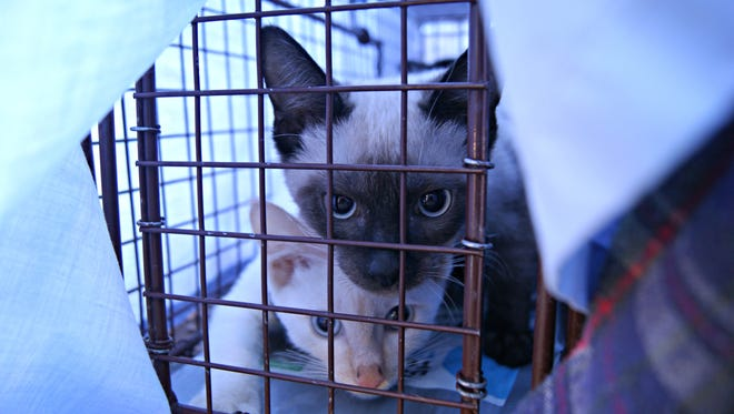 Three kittens caught in a trap during a Trap Neuter Return effort on Thursday January 14, in Glendale.