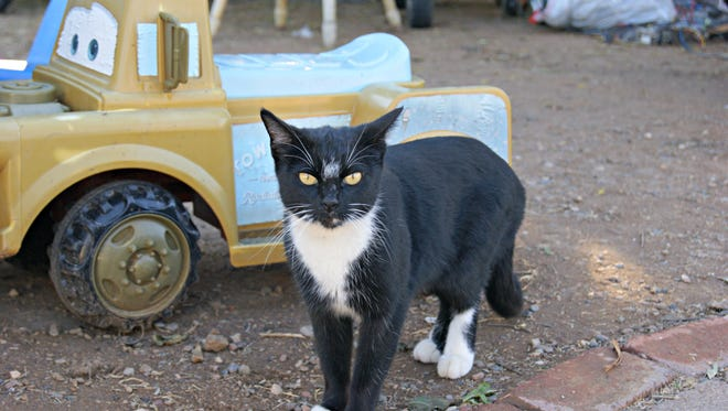Cha Cha, the mother and grand mother of many of the stray cats, during a Trap Neuter Return effort on Thursday January 14, in Glendale.