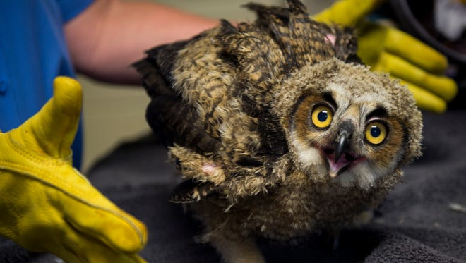 An injured great horned owl is treated by veterinarian Cindy Backus at Countryside Veterinarian Services in Louisville on Tuesday, May 2, 2017.