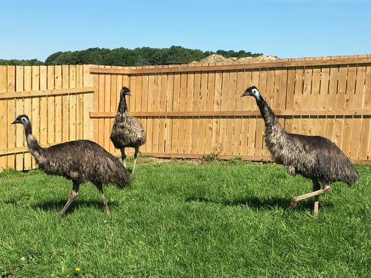 A wandering emu was secured and is living at Animal Adventure.