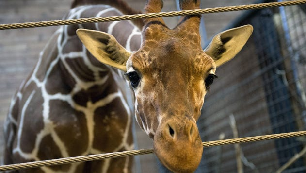 Marius was a perfectly healthy young giraffe who was shot dead and autopsied in the presence of visitors to the gardens at a Copenhagen zoo on Feb. 9, 2014, despite an online petition to save it signed by thousands of animal lovers.
