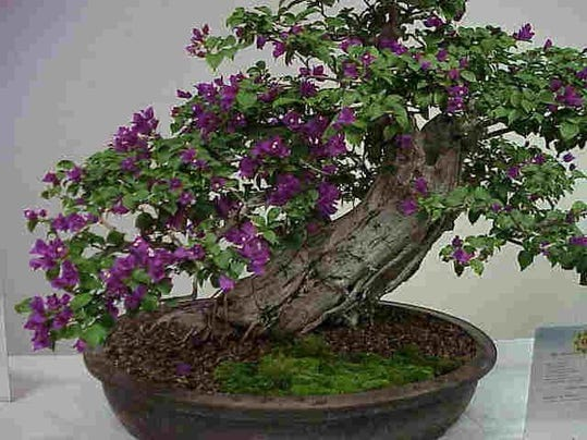 PNJBrd_12-08-2016_NewsJournal_1_A009~~2016~12~06~IMG_bonsai_1_1_S4GM3JNF_L93