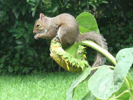 SquirrelonSunflower.jpeg
