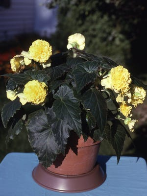 The colorful, nonstop tuberous begonia with large showy flowers likes a northern exposure with light-to-medium shade