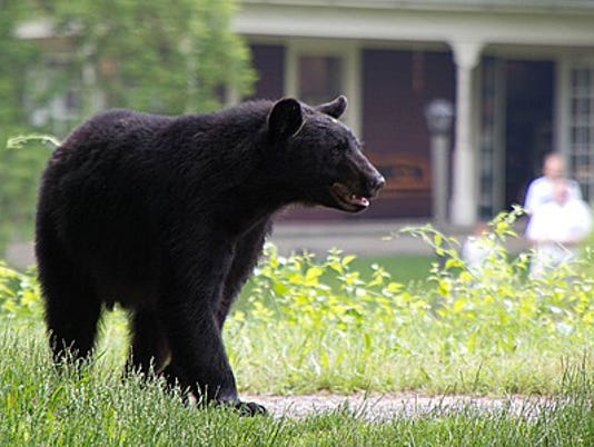Black bear Pittsford