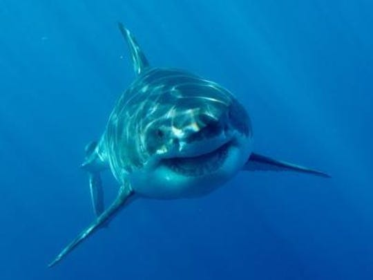 The Great White shark is near the top of the food chain in the ocean.