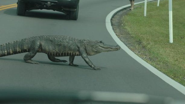 Don Mengle snapped photos of an alligator as it crossed a Sanibel road.