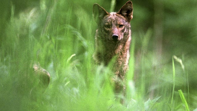Milwaukee County Parks has received reports of altercations between coyotes and pets off-leash, including one at County Grounds this week. The above picture was not taken on the Milwaukee County Grounds.