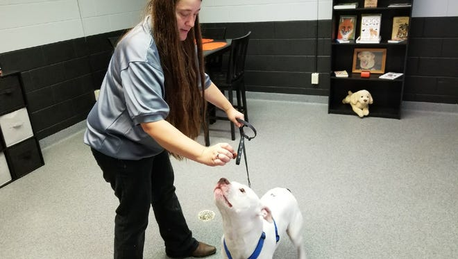 Miah, a pit bull, sniffs out a treat from Alisa Miller at the Sandusky County Dog Warden's Office.