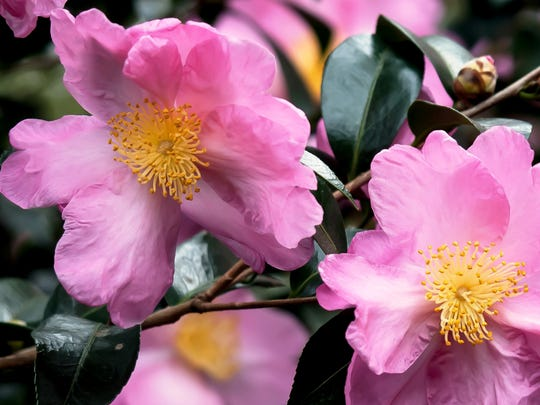 Pink Butterfly camellia sasanqua produces large flowers that are close to 5 inches wide.