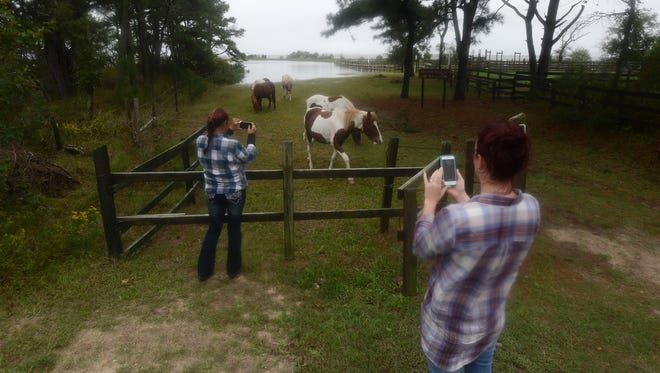 Leesa Thew, left, and Laura Quackenbush stop to take photographs as Chincoteague Ponies wander freely on Assateague Island on Sunday, Oct. 4, 2015. Gates were opened for the wild herd so the ponies could seek higher ground during a storm system that continues to produce major coastal flooding in the area.