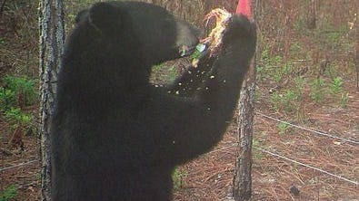 A Florida black bear grabs for an easy meal without realizing its activity is being captured on a wild game camera in the woods in Southwest Florida.