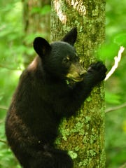 Kentucky's bear biologist said there's no reason for the public to be worried if they see a black bear in the central region of the state.