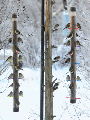 With fresh seed, safe shelter, and a yard clear of predators, birds flock to feeders when winter turns wicked. During last winter's snow, 32 American Goldfinches flocked to two freshly filled nyjer seed feeders with a safe-haven bush only a few feet away.