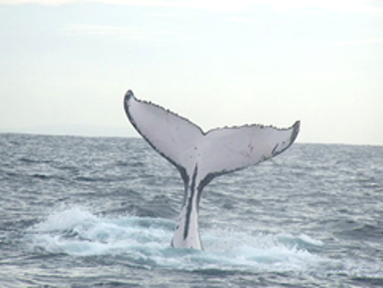 Fluke of a sounding humpback.