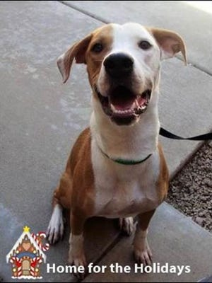 Walter is available for adoption through the Home for the Holidays adoption special at HALO in Phoenix.