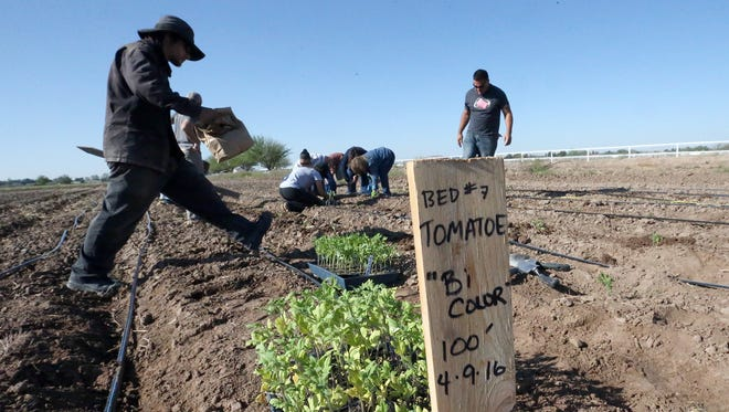 Volunteers plant tomatoes at the 14-acre La Semilla Food Center farm in Anthony, N.M.