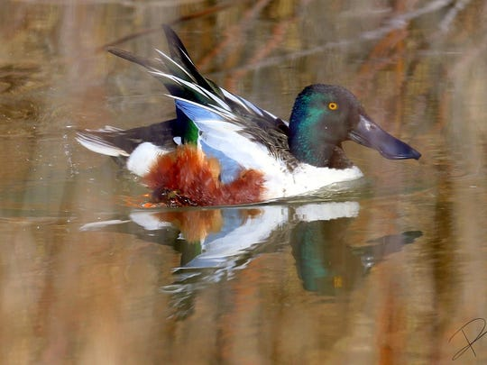 With intense red eyes and a rich array of feather color, this northern shoveler cruises one of the ponds at the bosque.