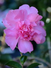 For rich color and double flowers, look for Camellia sasanqua Sparkling Burgundy