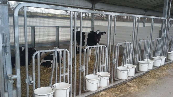 The weaning process is a critical time to limit stress, maintain well-cleaned, uncrowded environments and allow dairy calves to slowly adjust to changes.