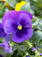 Pansies of many colors and faces like this solid blue type are readily available at retail outlets.