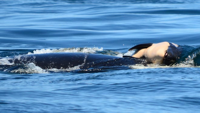 This July 24 photo provided by the Center for Whale Research shows a baby orca whale being pushed by her mother after being born near Victoria, British Columbia. The new orca died soon after being born.