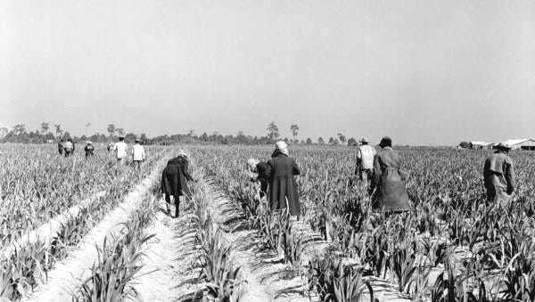 Workers tend to crops at Gulf Coast Farms. Cattle were brought in cattle to fertilize the soil on a rotating basis. The cattle were managed by cowboys on horses.