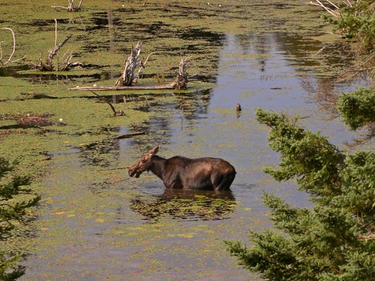A cow moose eats water shield, an aquatic plant, from an inland lake at Isle Royale National Park in August of 2015. Moose are well adapted to the cold, but not the heat; they will commonly seek out lakes to stay cool when summer temperatures rise.
