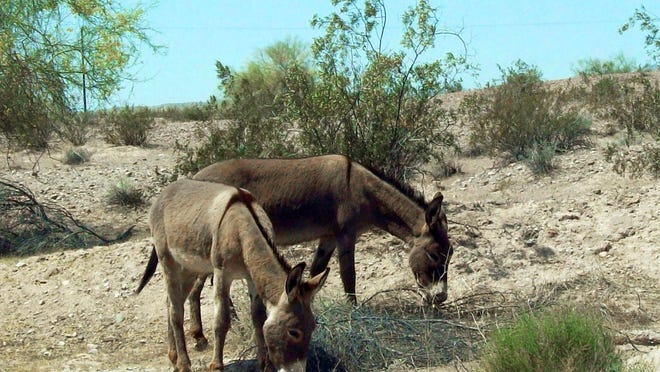 Feral burros graze in the Mojave Desert near Needles, Calif.