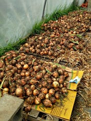Onions cure in a hoop house at Emerald Meadows Family