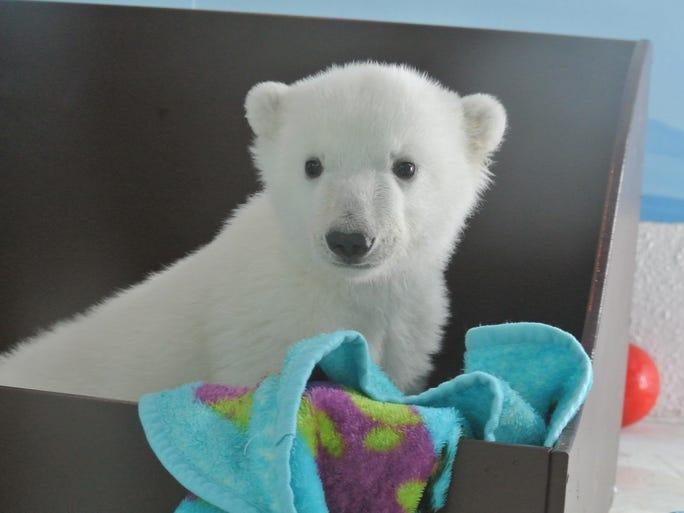 Polar Bears International marks Feb. 27 as International Polar Bear Day.   In recognition, USA TODAY Network brings you an assortment of polar bear images.  Here, a polar bear cub at the Toronto Zoo eyes the camera.