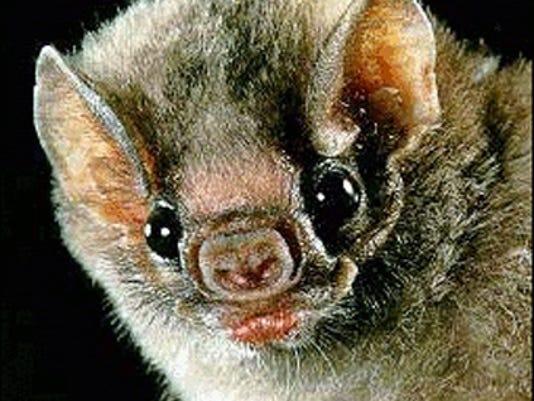 SHR bat