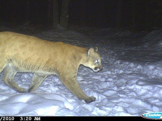 A confirmed cougar in Clark County captured on a trail camera on January 18, 2010.