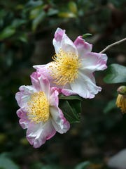 Hana Jiman Camellia sasanqua looks as though it was hand painted by an artist.