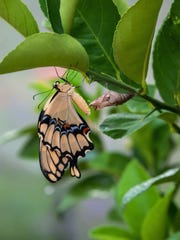 A giant swallowtail emerges from its chrysalis.