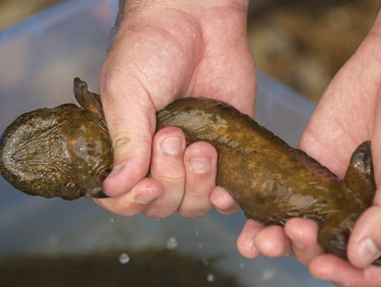 A young hellbender salamander found below Dawt Mill