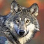 Baldwin, Johnson back bill to delist wolf