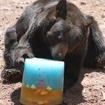 Bears maul pinatas, savor treats at wild(life) Bearizona birthday party