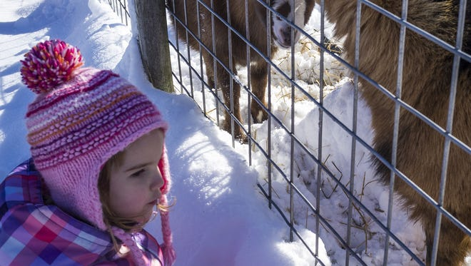 Despite cold, Harper Rustad, 3, from Haslett, checks out the goats at the Peacock Road Family Farm, Nov. 21, 2015.