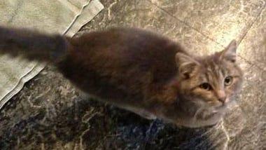 found-airvillegraycat