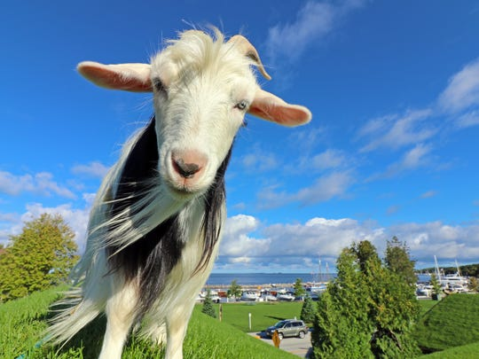 As long as the weather is hospitable, goats can be seen on the roof of Al Johnson's in Sister Bay.
