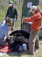 Nick Gould, left, of N.C. State University, Colleen Olfenbuttel, and Jennifer Strules of the N.C. Wildlife Resources Commission, measure a 311 pound male black bear captured and tranquilized in East Asheville in this 2014 photo.