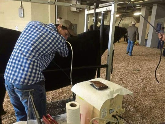 Matthew Kasanicky of Gilpin uses an ultrasound wand to take images of cattle while looking at a computer monitor to check the quality of the images.