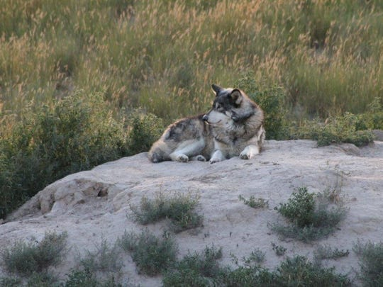 A timber wolf sits quietly in its large-acreage habitat at The Wild Animal Sanctuary outside Keenesburg, Colorado. (Photo by Liz Evans Scolforo)