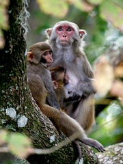 In this Friday, Nov. 10, 2017 photo, a rhesus macaques monkey and her offspring observe kayakers as they navigate along the Silver River in Silver Springs, Fla. Wildlife managers in Florida say they want to remove the roaming monkeys from the state in light of a new study published Wednesday, Jan. 10, 2018, that finds some of the animals are excreting a virus that can be dangerous to humans.