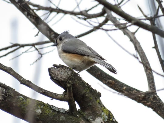 A Tufted Titmouse is spotted near Lake Loudoun on a walk through Lakeshore Park as a part of Christmas Bird Count day.